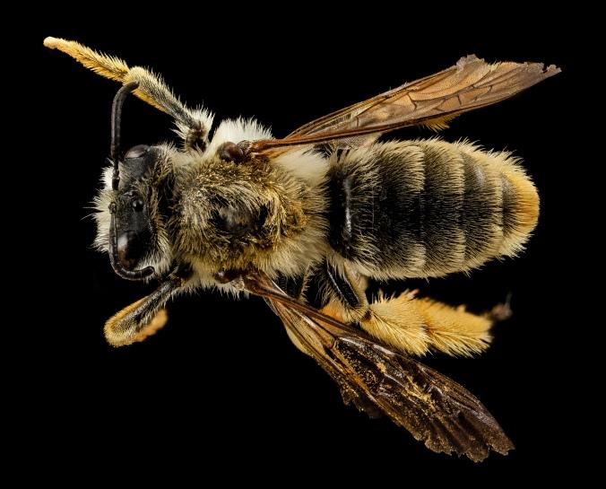 Figure 5: Representative of the Rediviva genus ©USGS Bee inventory